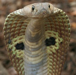 Indian Cobra is considered one of the deadliest creatures.  It grows to a length of  1.8 - 2.2 meters long.  Its hood of flexible neck ribs and loose skin is displayed.