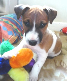 Jasper - Our Jack Russell Puppy with His Chew Toy