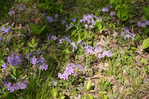 Wild Phlox Flowers