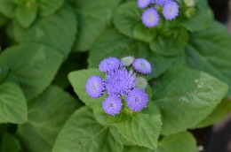 Blue Ageratum Flower