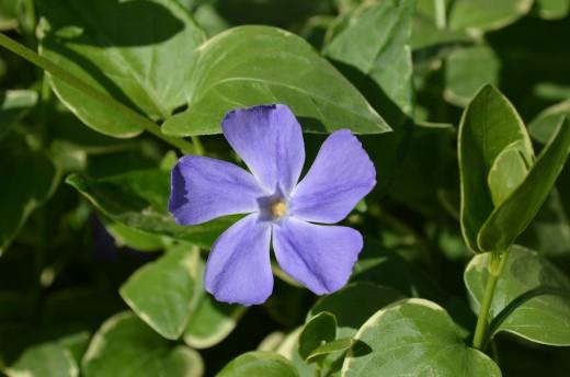 Vinca Vine with Purple Vinca Flowers