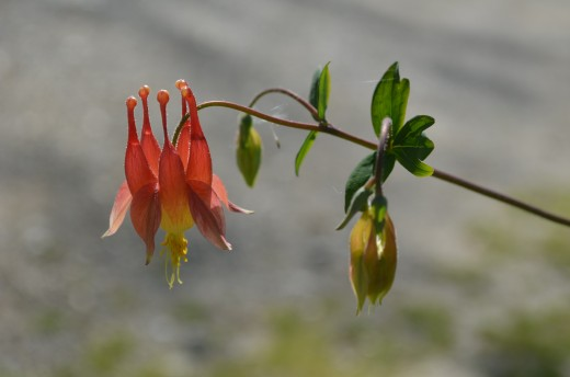 Coral and Yellow colored columbine flower