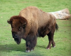 What is the difference between Buffalo and Bison?