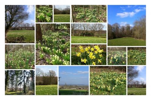 The Daffodil Way Walk