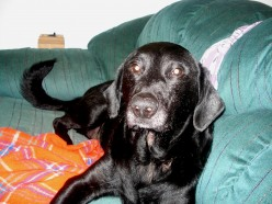 Here's Harley, a 14yo Lab. He had a barking problem until we started giving him 3-mile per day walks.