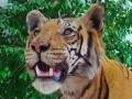 Bengal Tiger - facts, information and trivia about the Royal Bengal tigers.