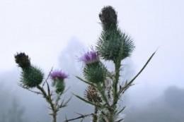 Thistle flower heads
