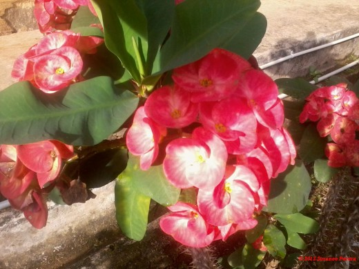 Crown of Thorns - Euphorbia milii