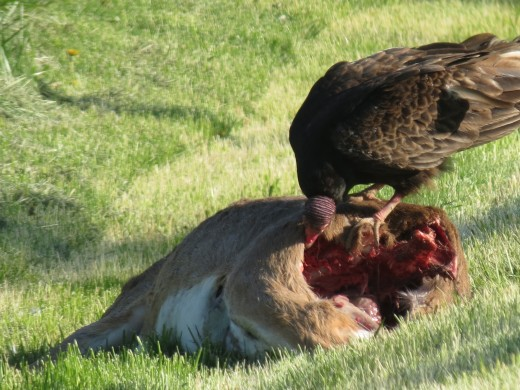 This picture is taken after a deer was struck by a car so hard the deer carcass separated into several large pieces.  This particular piece fed five to six vultures at a time for about a week.