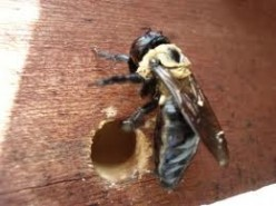 How do you get rid of wood boring bees?