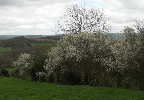 Blackthorn blossom in a hedgerow