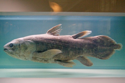 Coelacanth specimen at the Natural History Museum of Nantes