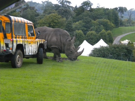 A white rhino being moved on by one of the rangers.