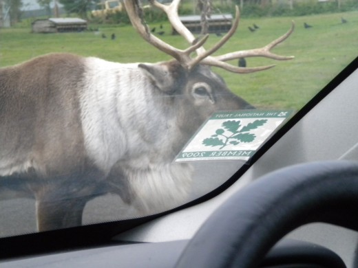 I had to wait several minutes for this reindeer to move. Fascinating to see them this close.