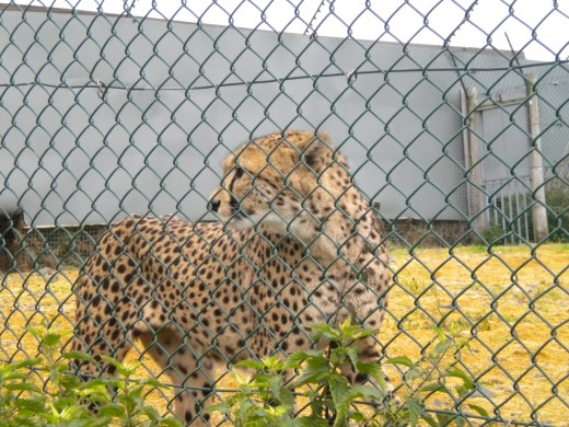 This Cheetah was more restless than the others. Such a shame to see them behind bars.