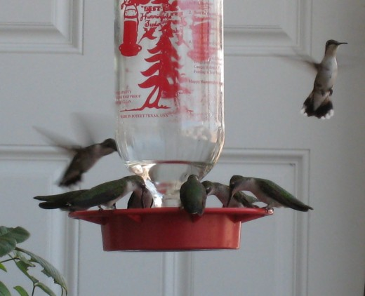 Hummingbird Festival - me first!