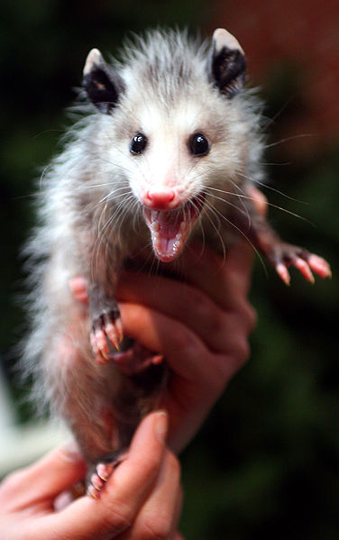 Baby opossum hissing to protect itself after having been injured