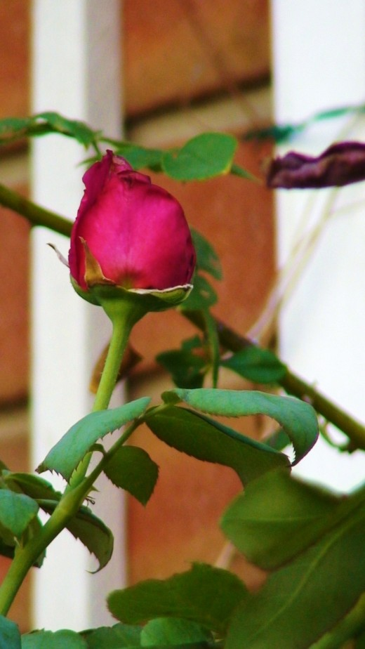 my climbing roses