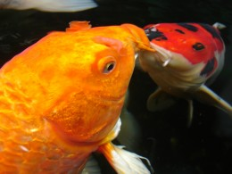 Koi are an excellent example of fish whose space requirements cannot be determined by their adult size alone.