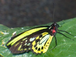 Photo 3 - This one has nearly fluorescent coloring, and so many different colors.  I am amazed.  This one is called Cairns Birdwing, or Troides Priamus.