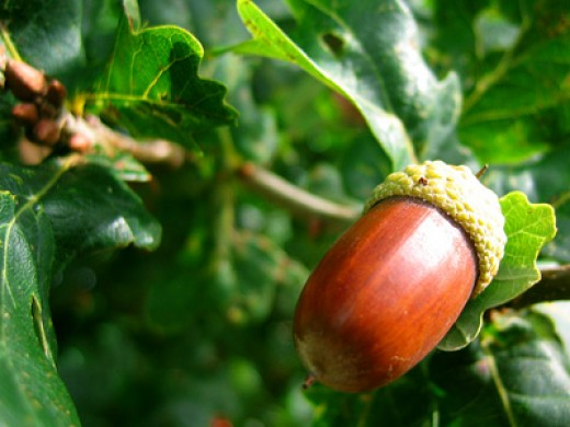 Acorns are rich in magnesium and low in cholesterol and sodium.
