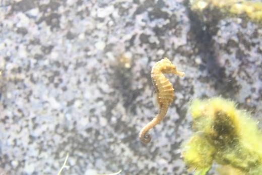One Of The Sea Horses Inside The New Aquarium Exhibit.