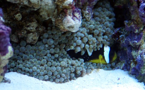 Our female Saddleback Clownfish, Shirley, nestling in the Anemone