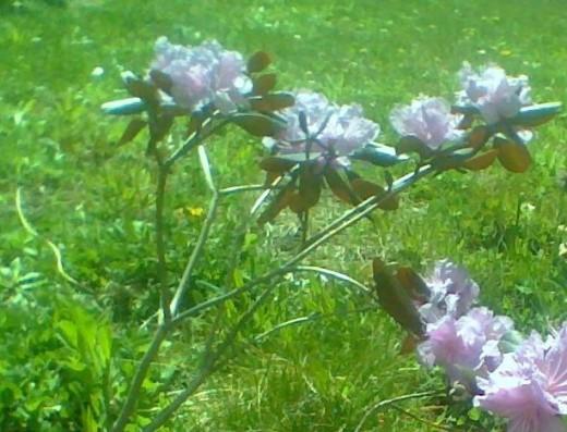 Pretty pink rhodadendron