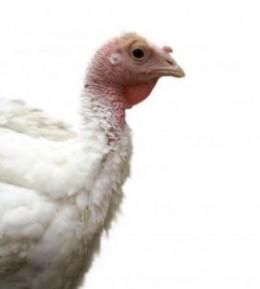 """White Turkey"" by levi_sz (http://everystockphoto.s3.amazonaws.com/White_Turkey_Animal_239874_l.jpg)"