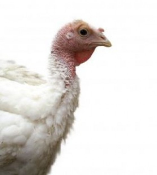"""White Turkey"" by levi_sz (http://everystockphoto.s3.amazonaws.com/White_Turkey_Animal_239874_l.jpg)"