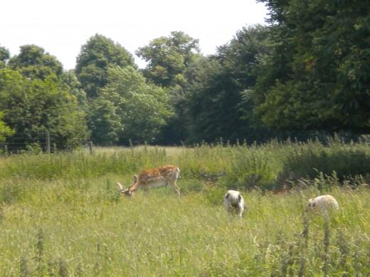 A fallow deer buck grazing alongside some Jacob's sheep.