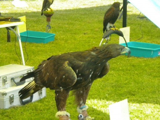 The golden eagle- easily the most impressive bird on display.