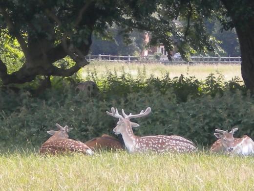 Fallow deer bucks relaxing in the sun.