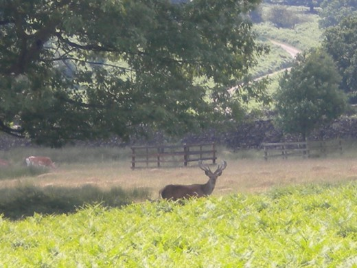 This red deer stag got spooked out by my rather noisy Jack Russell; so I was lucky to get this shot of him.