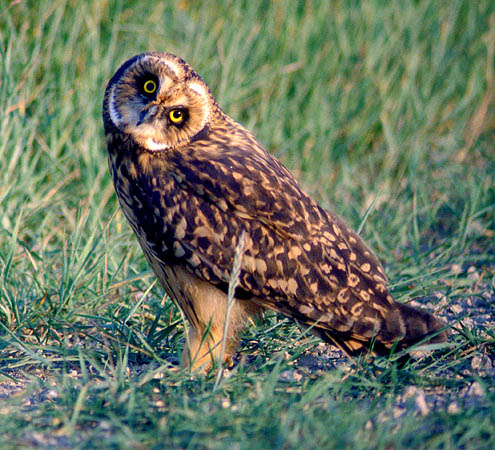 Male Short-eared Owl.