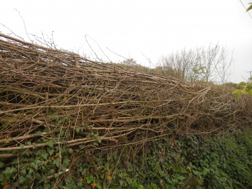 A recently laid hazel hedgerow in Dorset, England.
