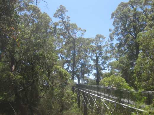 He followed his father on the 'Tree Top Walk' through the tingle forest canopy. He pointed at three rare eucalypts-the red, yellow and Rate's tingles surrounding the trail...