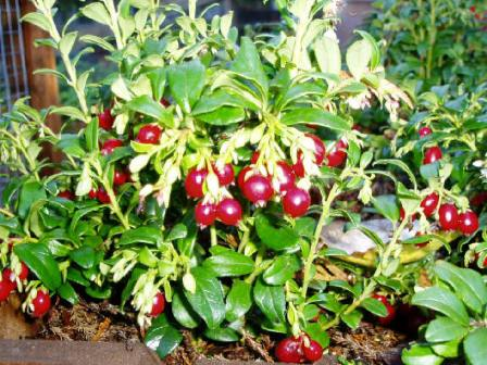 Lingonberry bushes