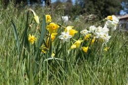 Daffodils, Julian