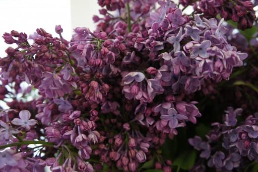Lilacs, Julian