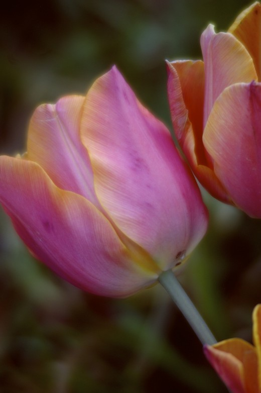 """A Closer View"" is a photo of my garden tulips.  I really enjoy the warm and cool tones blended so beautifully."