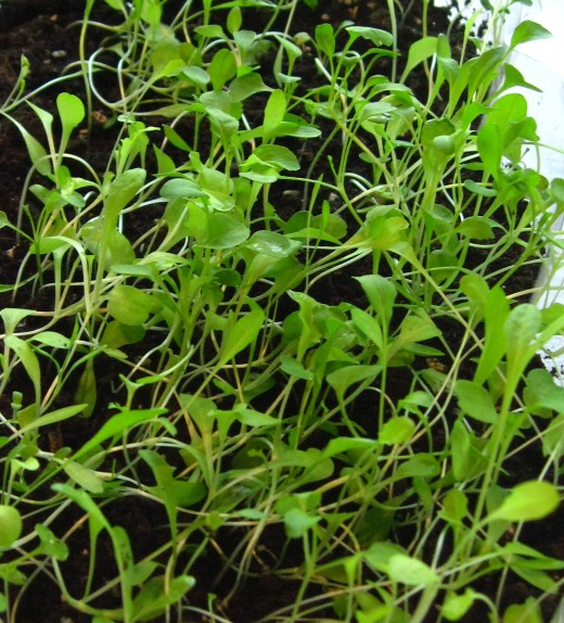 Spring salad mix growing from seeds