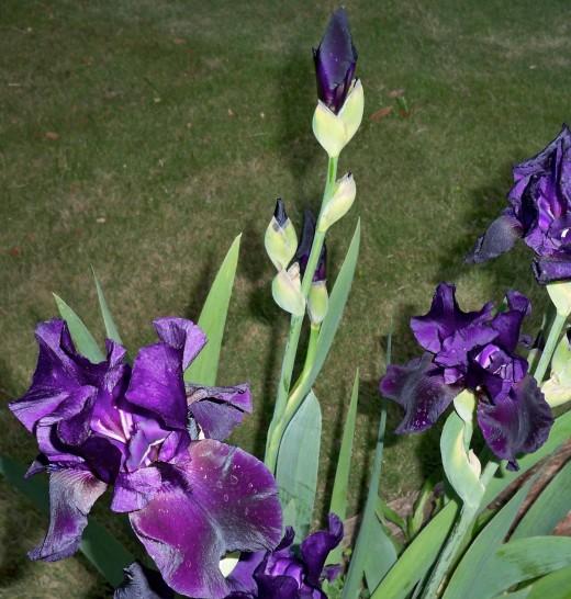 Flash On Black Iris, Late Evening