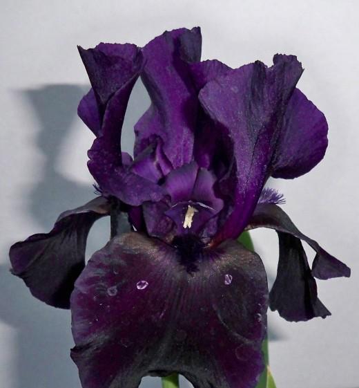 Getting More Black Iris True Color