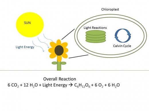 This represents the overall process of photosynthesis, which takes place in the chloroplasts of the plant. The first component, the Light Reactions, of this process converts light energy into chemical energy stored in ATP and NADPH. In the next step