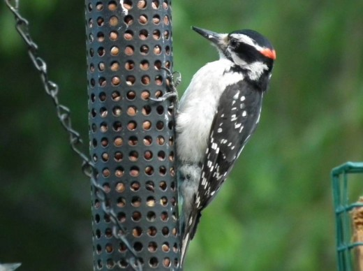 Woodpecker eating nuts
