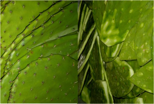The super nutritious nopal cactus or prickly pear.