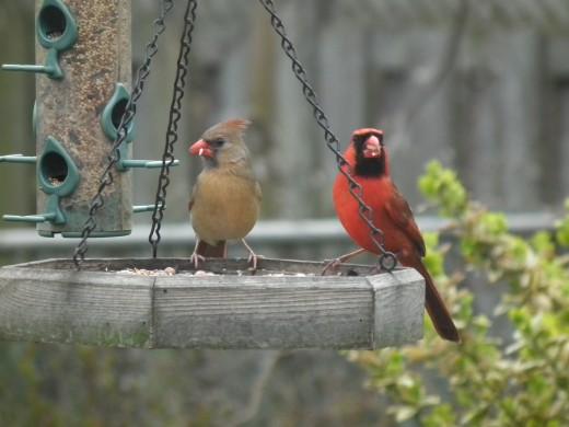 A pair of Northern Cardinals