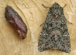 Cabbage Moths and their larva can make a mess of your garden.