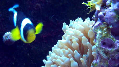The Clownfish loves having it's picture taken